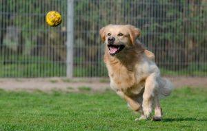 dog chasing a tennis ball