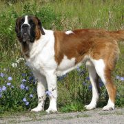 St. Bernard and flowers