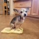 Chihuahua sitting on pillow