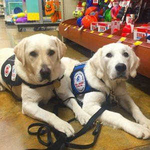 Labrador retriever service dogs