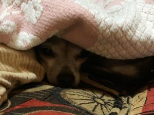 chihuahua under blanket