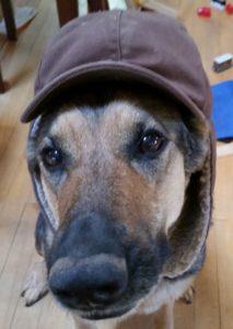 German shepherd in hat