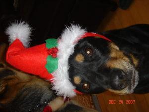 rottweiler wearing a santa hat