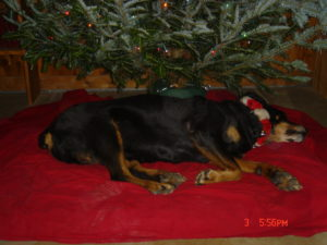 rottweiler in front of christmas tree