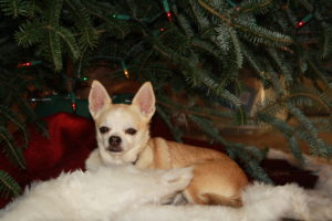 chihuahua in front of christmas tree